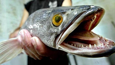 Ikan Paling Berbahaya Di Dunia