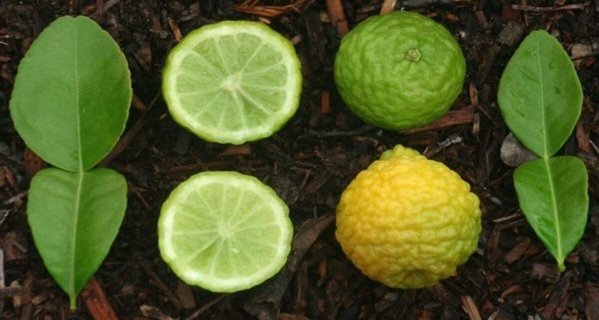 5 Manfaat Jeruk Purut